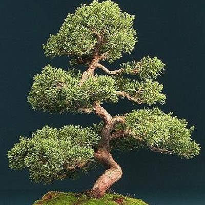 especies de bonsai