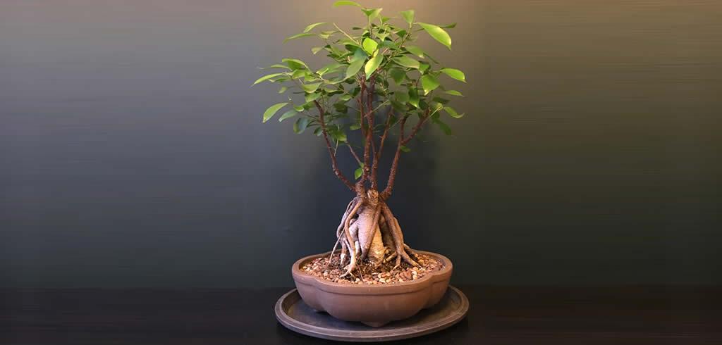 Quieres Comprar Los Mejores Ficus Bonsai Para El 2018